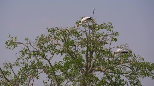 Thumbnail for Yellow-billed storks in a tree