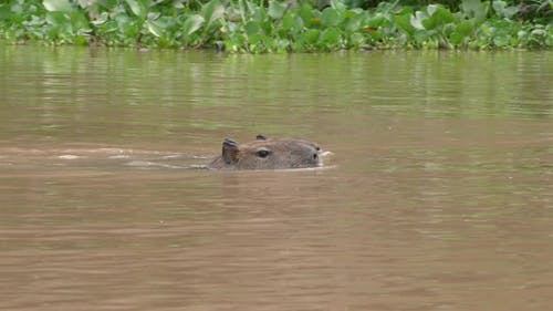 Capybara Adult Young Pair Swimming in Brazil South America