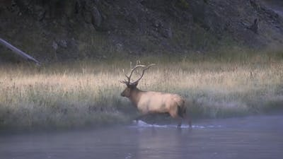 Bull Elk climbing out of river at dawn