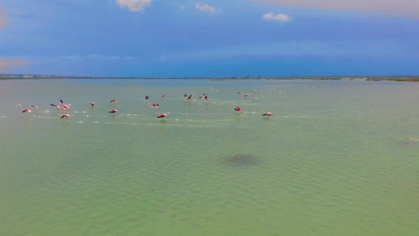 Thumbnail for Aerial View. Flamingos, Flying Close To the Camera at Sunset Over the Lake.