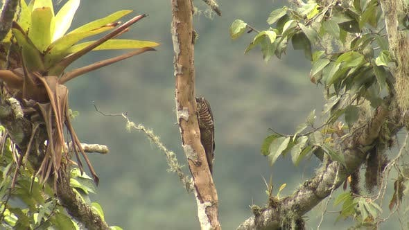 Thumbnail for Guayaquil Woodpecker Adult Climbing Tree Trunk in Ecuador