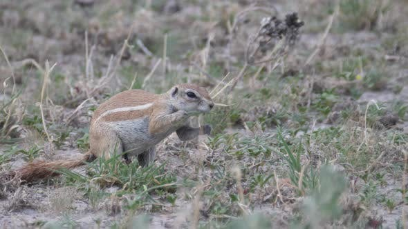 Thumbnail for African ground squirrel eating grass