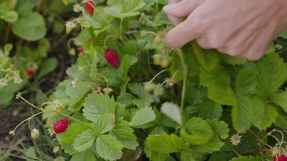 Female Farmer Hands Picking Strawberries