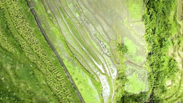 Thumbnail for Rice Terrace Fields