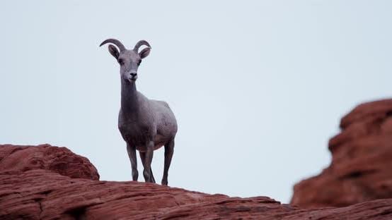 Thumbnail for Animals 017 - Mountain Goat