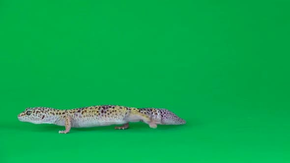 Thumbnail for Yellow and Brown Spotted Leopard Gecko Eublefar Isolated at Green Screen. Close Up.