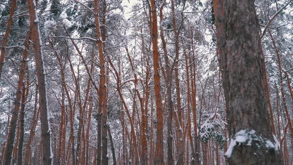 Thumbnail for Winter Pine Forest. Flying Through the Pillars of Trees Covered with Snow