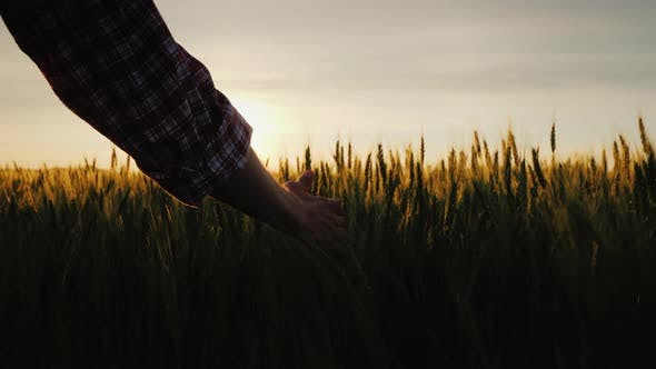 Thumbnail for Farmer's Hand Looks at the Ears of Wheat at Sunset. The Sun's Rays Shine Through the Ears