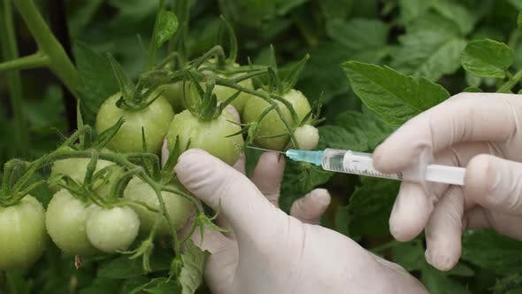 Thumbnail for GMO Concept. Scientist Makes an Injection Into Tomato