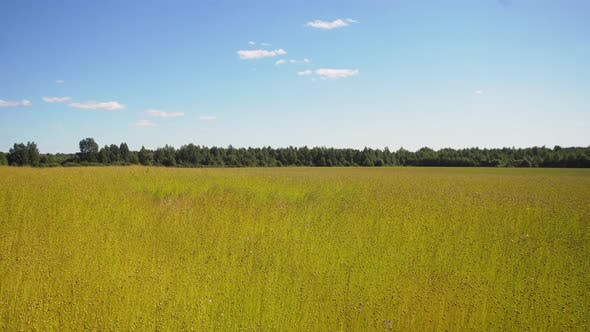 Thumbnail for Summer Landscape, a Field of Flax
