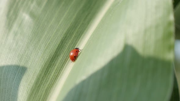 Thumbnail for Shallow DOF ladybug on the corn leaf  4K 2160p 30fps UltraHD footage - Tiny red Coccinellidae beetle