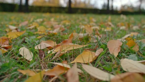 Thumbnail for Yellow Fallen Leaves on Green Grass
