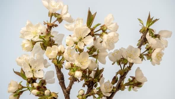 Sour Cherry Blossom Timelapse on White