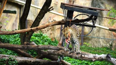 Slow-motion of leopard eating meat