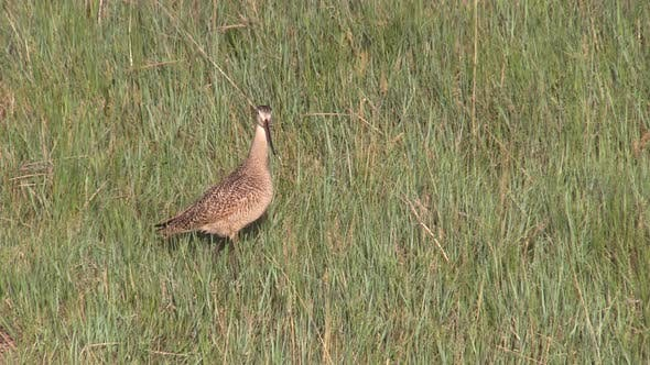 Thumbnail for Marbled Godwit Bird Standing then Flying Taking Off in Prairie Grass in Summer