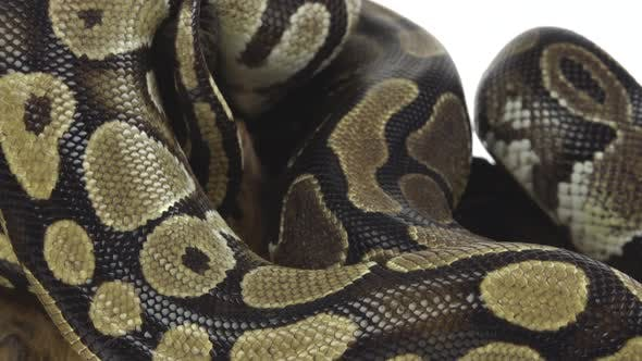 Thumbnail for Royal Python or Python Regius on Wooden Snag in Studio Against a White Background. Close Up