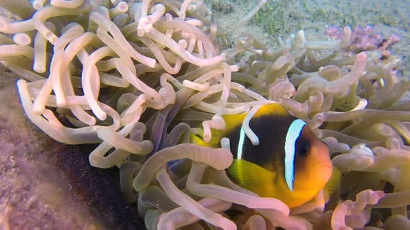 Thumbnail for Underwater Clownfish and Sea Anemones