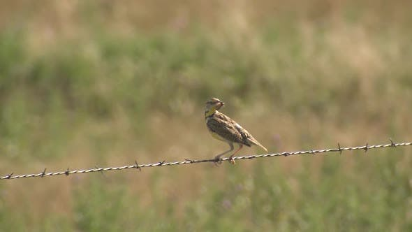 Thumbnail for Western Meadowlard Bird Predation Capture Carrying Insect on Fence Barbwire Wire