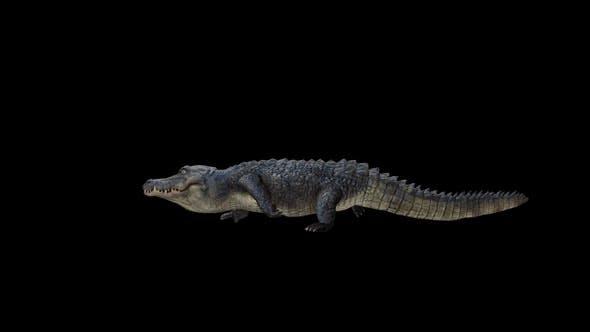 Thumbnail for Alligator Walk
