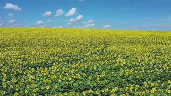 Thumbnail for Sunflower Field to Horizon Blue Sky