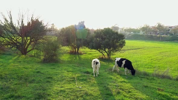 Thumbnail for Cows Grazing In The Meadow