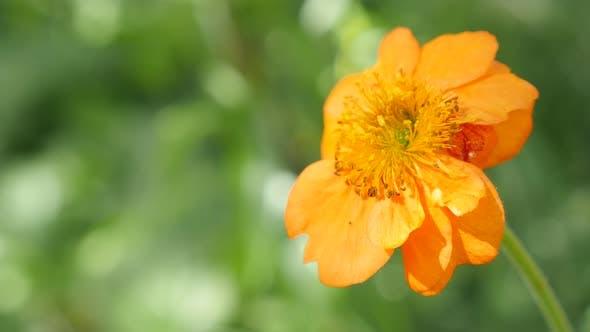 Thumbnail for Calendula officinalis Gemeinsame Ringelblume flach DOF 4K 2160p UltraHD Filmmaterial - German Ringelblume