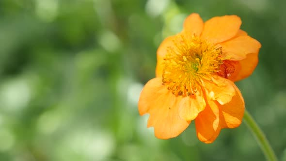 Thumbnail for Calendula officinalis Common Marigold flower shallow DOF 4K 2160p UltraHD footage - English Marigold