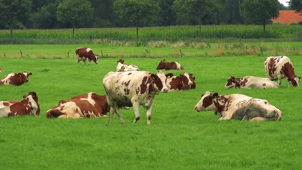 Thumbnail for A Herd of Cows Grazes in a Pasture in a Rural Area, an Enclosure, a Forest and a Red Rooftop