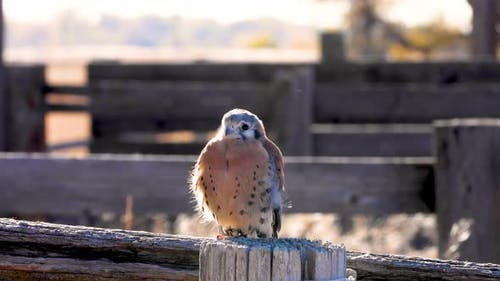 Kestrel perched on a fence