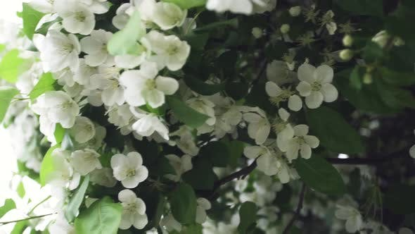 Close Up For Rabapple Tree In Full Bloom In The City Park