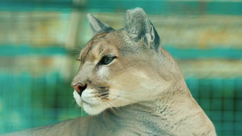 Portrait of a Cougar Behind the Aviary