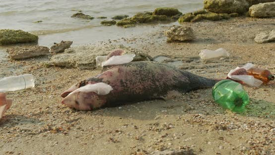 Thumbnail for Environment and Wildlife: Dead Young Dolphin on the Sea Shore. Earth Wildlife, Environmental