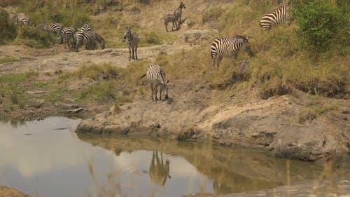 Zebras near a waterhole