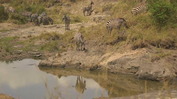 Thumbnail for Zebras near a waterhole