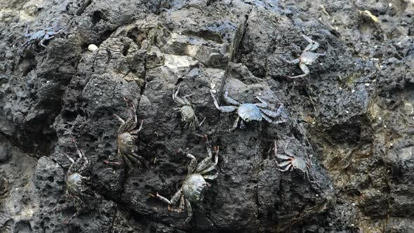 Silver Rare Crabs in their Natural Habitat in the Caribbean