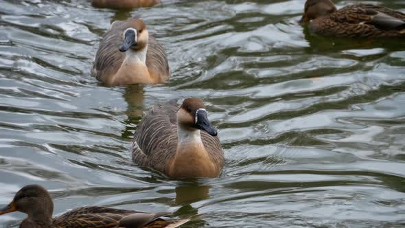 Cover Image for A Flock of Geese Enjoy a Swim on a Autumn Day