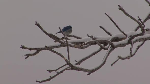 Mountain Bluebird Lone in Winter in South Dakota United States