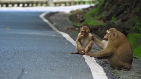 Thumbnail for monkey is sitting on the road in the park. Asia, tropical forest, national park.