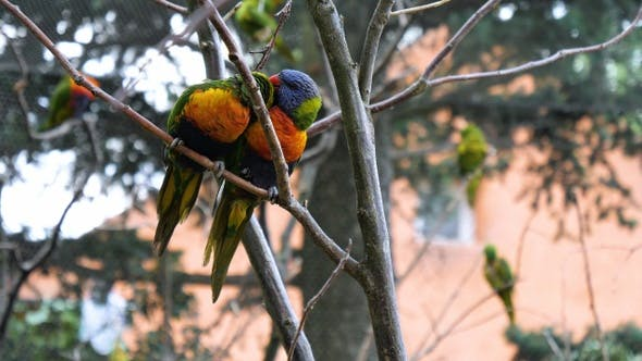 Thumbnail for Two superb parrot on a brunch.