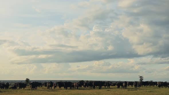 A Herd Of African Buffalo Feeding On The Vast Grassland In El Karama Lodge Under The Sunny Weather.