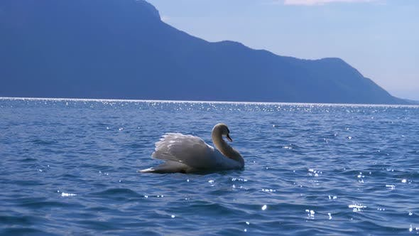 Thumbnail for Huge White Swan Swims in a Clear Mountain Lake on Backdrop of the Swiss Alps