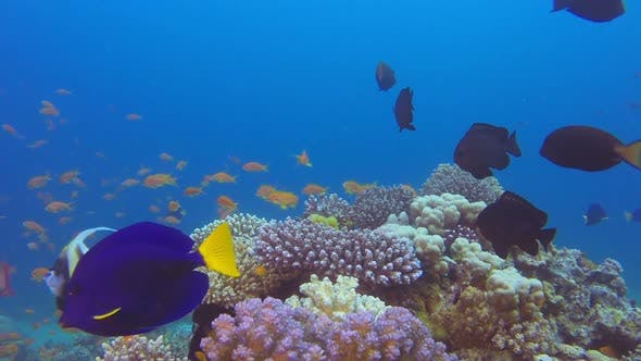 Thumbnail for Colorful Reef and Yellowtail Tang Fish