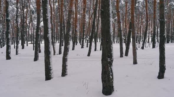 Cover Image for Flying Through the Winter Pine Forest. Snowy Path in a Wild Winter Forest Between Pines