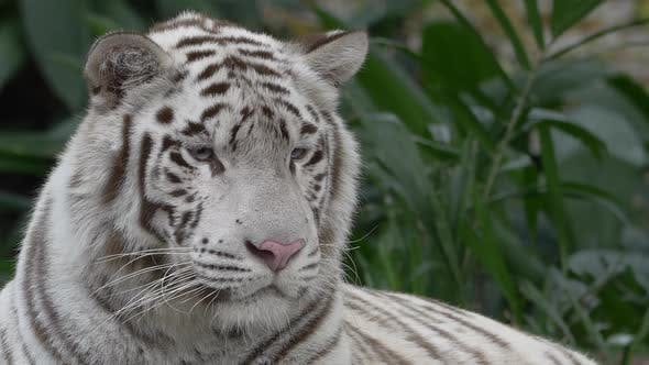 Thumbnail for White Tiger Portrait