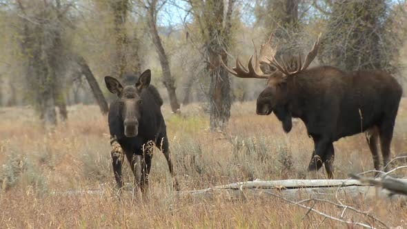 Moose Bull Cow Adult Pair Walking Moving in Autumn in Grand Teton National Park Wyoming