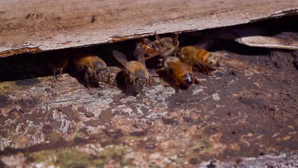 Thumbnail for Bees entering a bee hive at a farm