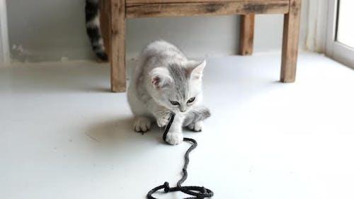 Cute Scottish Kitten Playing Rope On White Floor