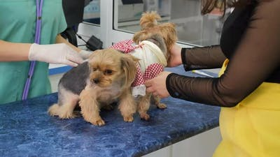 Cute Yorkshire Terriers on Examination at the Vet
