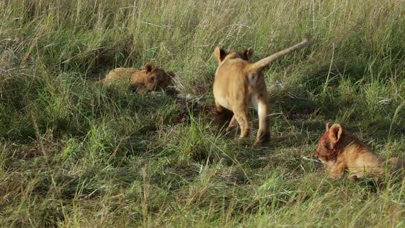 Thumbnail for Lion Cubs Playing