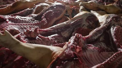 Dozens of Large Pig Carcasses with Cut Bellies Lie on Tables in a Butchery
